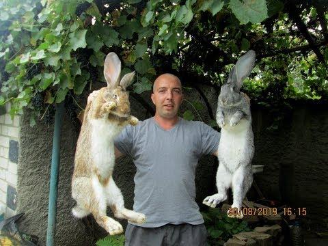 Сравним кроликов БЕЛЬГИЙСКИЙ