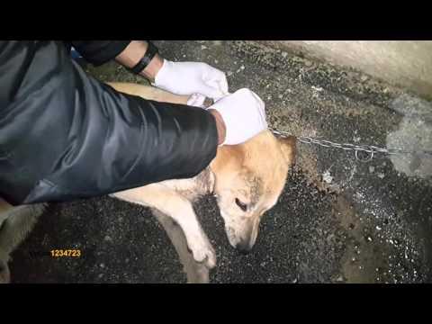 انقاذ كلب بحالة خطره جدا بعد ان اكل سم ولكن اصيب بالشلل مع جمال العمواسي