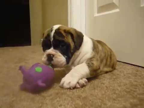 olde english bulldogge Karamel at aztec bulldogs