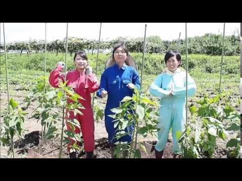 菊芋 収穫 時期