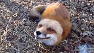Red and Arctic Fox Sound So Cute