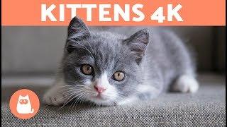 KITTENS 4K  Cute KITTEN VIDEOS in 4K 🧡