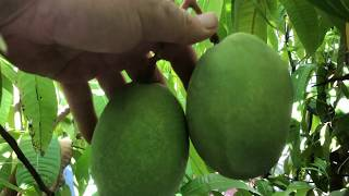 Most Northerly Mango Tree in the World- Part 1
