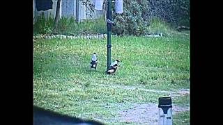 Copy of Funny Magpies (Australian Magpies)