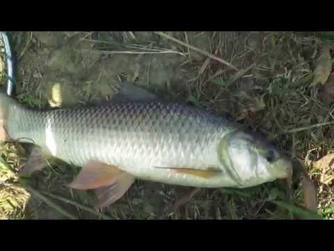 Strong Rohu Fishing s  Traditional Anglers