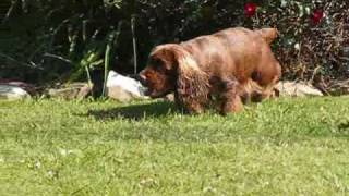 Sussex Spaniel Hunting Butterflies
