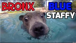 Gopro Hero 3 : Bronx The Blue Staffy Staffordshire Bull Terrier Dog Playing In The Swimming Pool