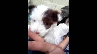 Terrier lusi