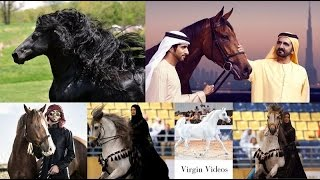 Beautiful Black & Gold Horse in Dubai   Emirates Royal Family Garden & Jumeirah beach