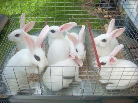 15 Jenis dan Harga Kelinci