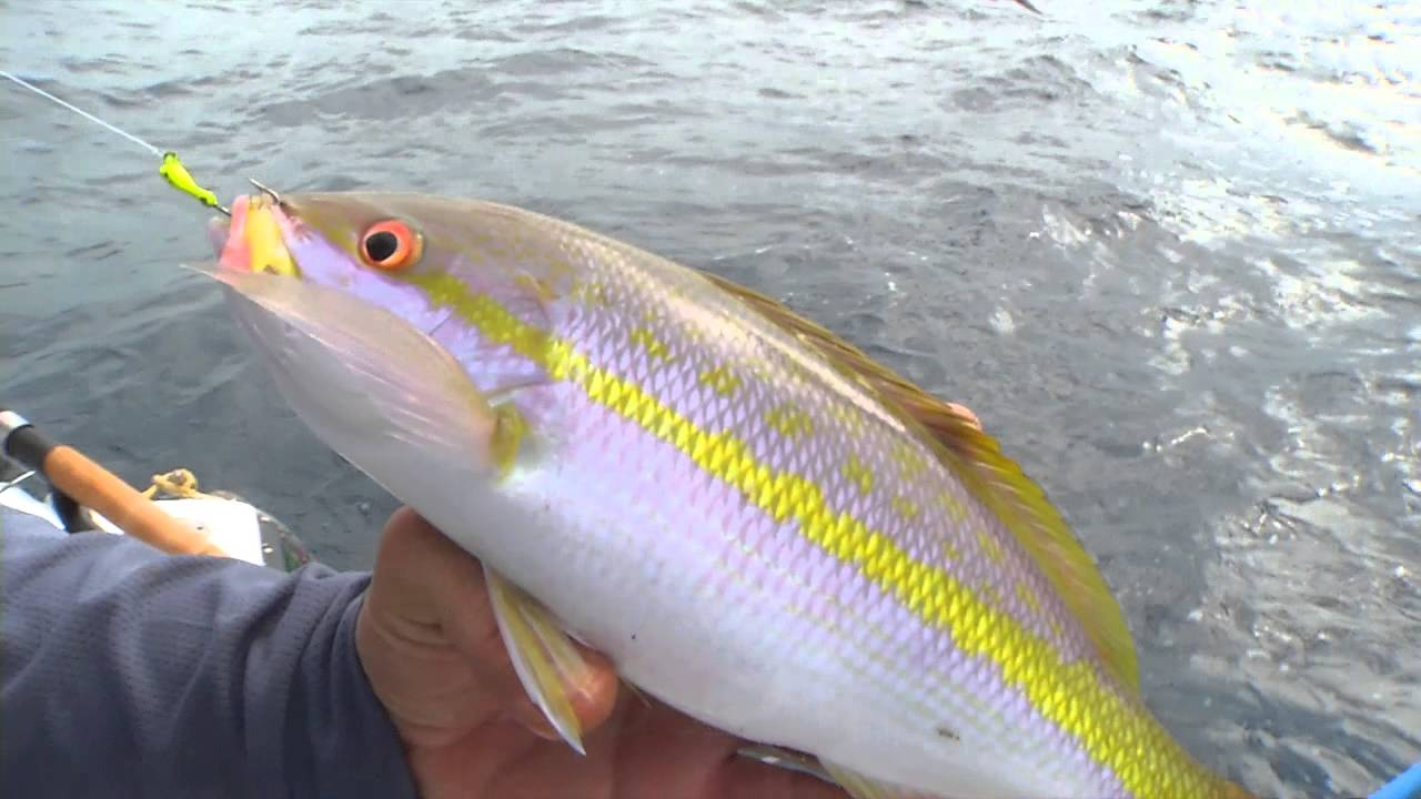 Yellowtail snapper fishing is favorite for florida keys for Yellow tail fish