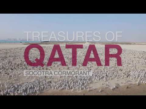 Treasures Of Qatar - Socotra Cormorant