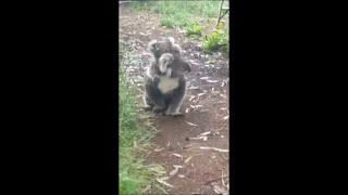Koala Mom Carrying Baby Walking Around in House Garden