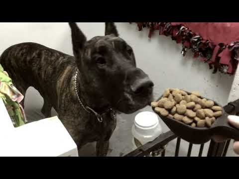 Great Dane Eating In Their Stalls