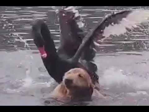 Tony Sandoval on The Breeze - WATCH: Black Swan BULLIES Golden Retriever out of a Lake