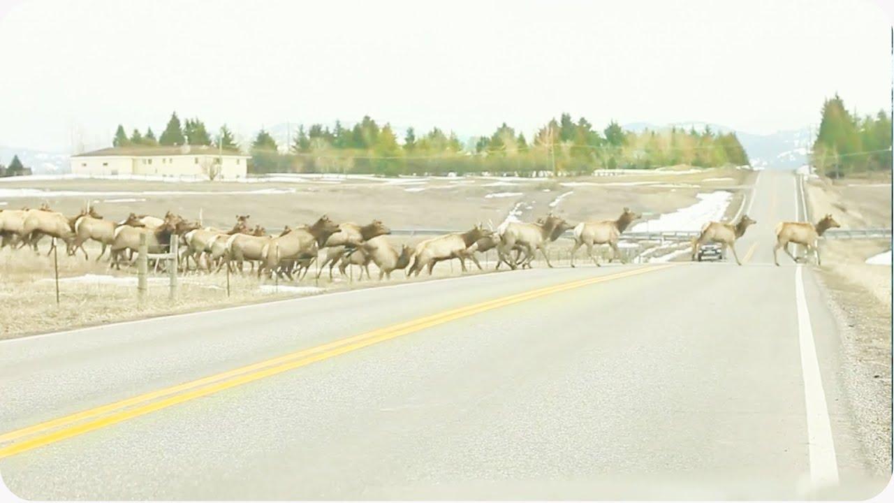 Massive Herd of Elk Crosses Road | Leave No Elk Behind
