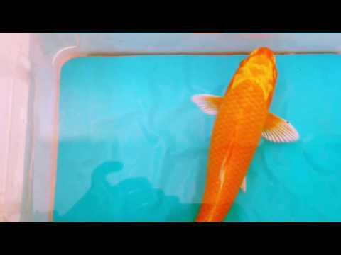 Orange Ogon Koi Fish