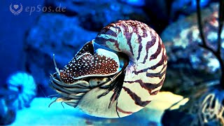 Amazing Nautilus Swimming under Water