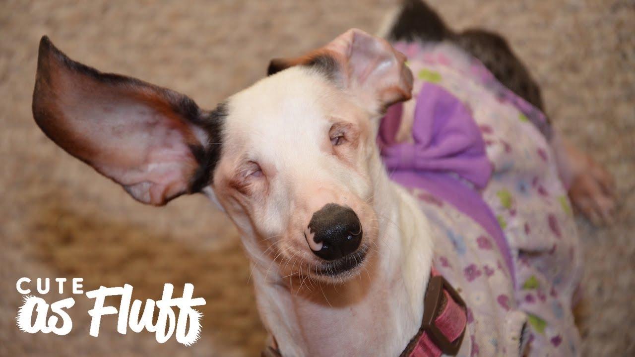 meet-hope-the-blind-and-deaf-dachshund-cute-as-fluff