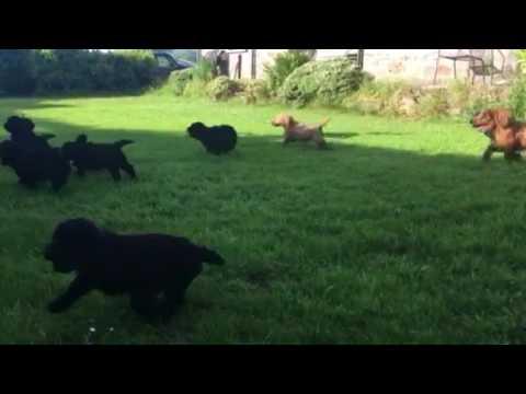 Felindre Cockapoo puppies racing in circles :)