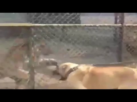 King of the Dogs KaNGaL vs TiGeR