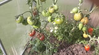 Почему я не буду сажать сортовые томаты Ленинградская обл.