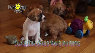 Cavalier Mix Puppies