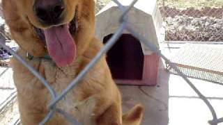 Pender County Animal Shelter - Golden Retriever / Yellow Lab Mix