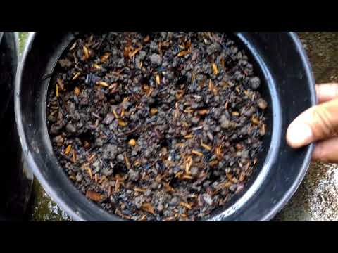 Cara Menanam Kangkung Dalam Pot / Polibag  [pekarangan Sempit]