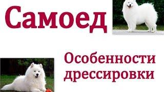 видео Щенок Самоед 1,5 месяца