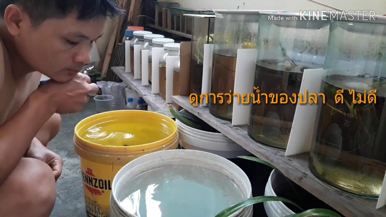 #ปลากัดเก่ง #ปลากัดนักสู้ชีวิตคนเลี้ยงปลากัด วิธีเลี้ยงปลากัดแบบวนน้ำ