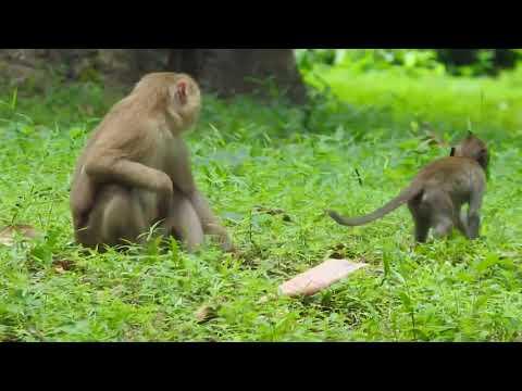 Mum Sleep On Baby Monkey Too Heavy ST1102 Mono Monkey