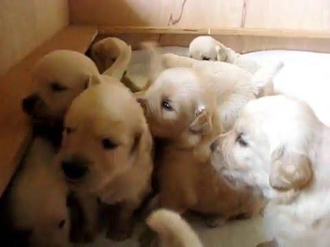 Marife Golden Retrievers Cachorros 3 Semanas Youtube