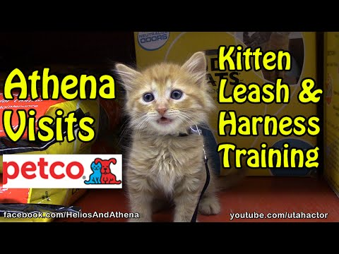 Athena Visits #Petco #Cute Ginger Kitten Gets A Leash
