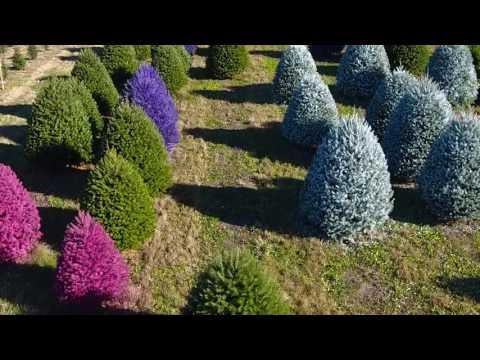 Gaudy or nice? This Christmas tree farm will paint yours purple