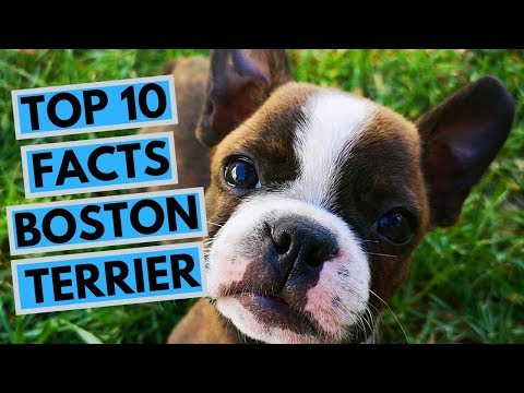 Boston Terrier - TOP 10 Interesting Facts