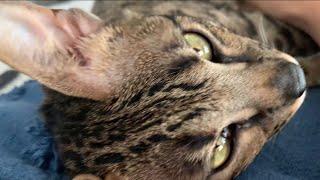 Cute Cat Zara Wants To Cuddle! Cuteness Overload! #cute #cat #purr