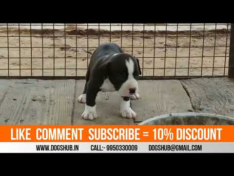 american pitbull puppies black and white color