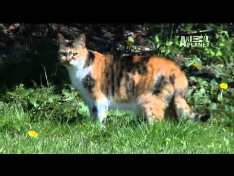 Cats 101  Domestic Shorthair   YouTube