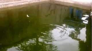 เหยื่อตกปลากระสูบปลาช่อนปลาชะโด