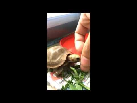 Feeding my Elongated tortoise [HD]