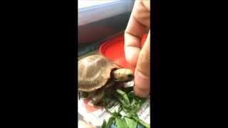 Feeding my Elongated tortoise [HD]