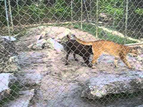 8808b77e1fe Everglades Alligator Farm - Dog and Florida Panther - YouTube