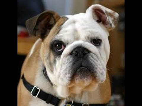 Top 10 Best Selling Dog breeds in The World