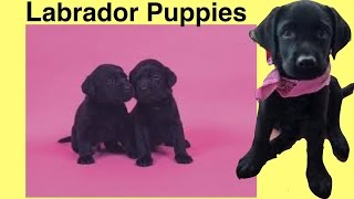 How to own LABRADOR PUPPY BREED - NEW PUPPY - DIY Dog Food by Cooking For Dogs