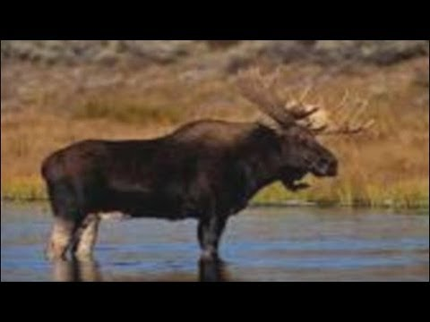 the-fukushima-chernobyl-hanford-moose-fable