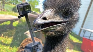 What does an emu do all day? Our GoPro found out.