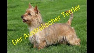 Der Australian Terrier