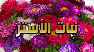 نبات الاستر اجمل زهور القطف/ الوصف العام/ موعد اكثاره من البذور