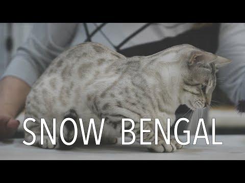A Snow Bengal at a TICA Cat Show